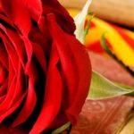 Comprar Rosas rojas Sant Jordi